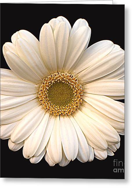 Gerber Daisy Greeting Card by Addie Hocynec