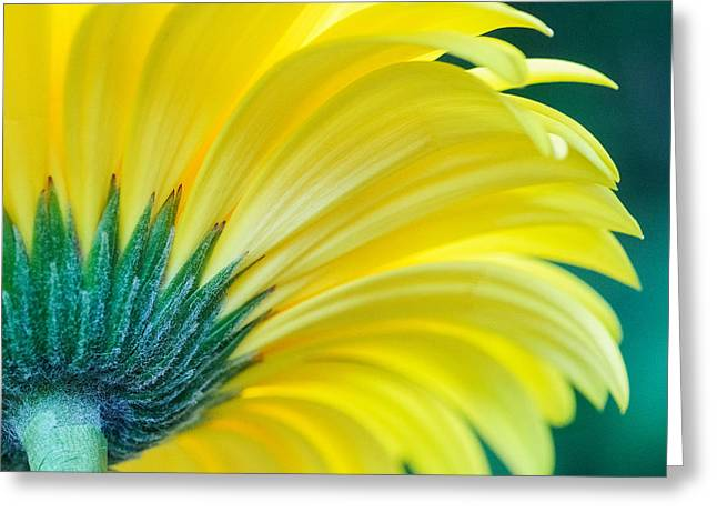 Greeting Card featuring the photograph Gerber Daisy by Garvin Hunter