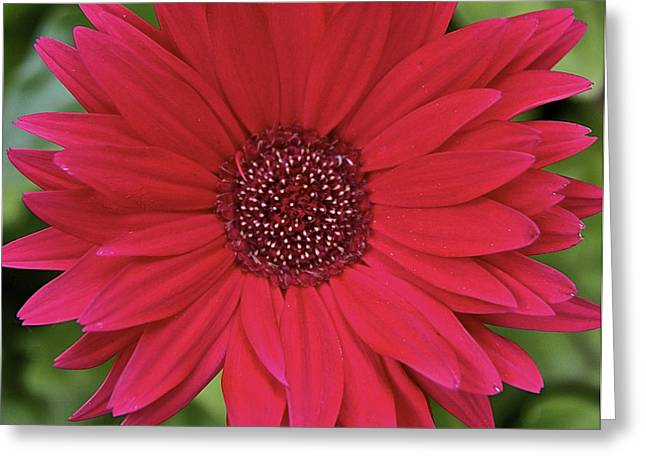 Gerber Daisy In Red Greeting Card by Susan Crossman Buscho