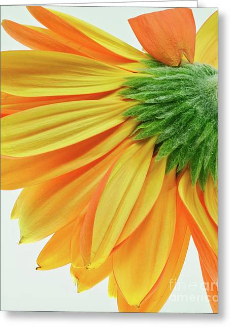 Gerber Daisy Number 1 Greeting Card