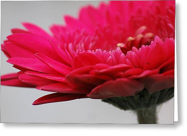 Greeting Card featuring the photograph Gerber In Pink by Amee Cave
