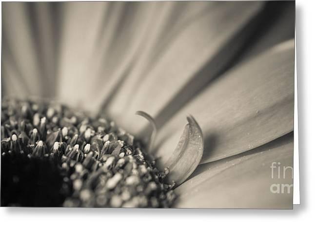 Gerbera Blossom - Bw Greeting Card by Hannes Cmarits