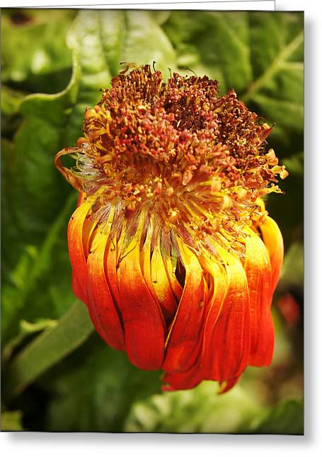 Gerbera Daisy - Orange Greeting Card