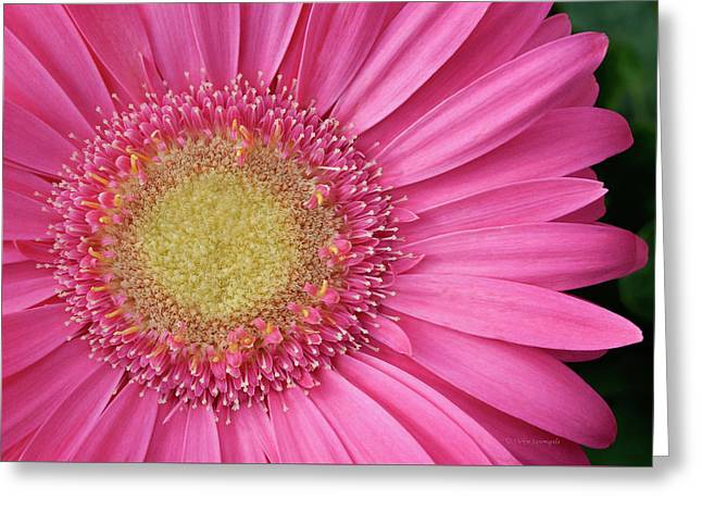 Gerbera Daisy 2 Greeting Card