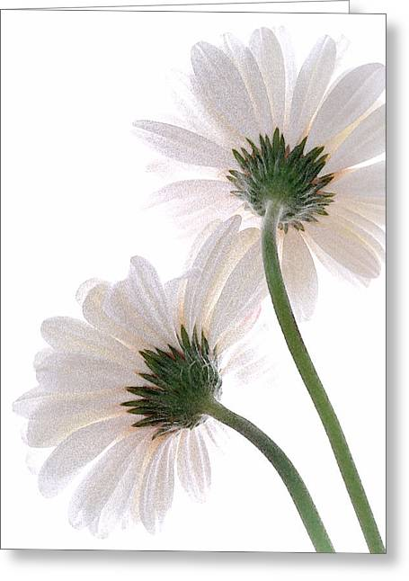 Gerbera Daisy II Greeting Card