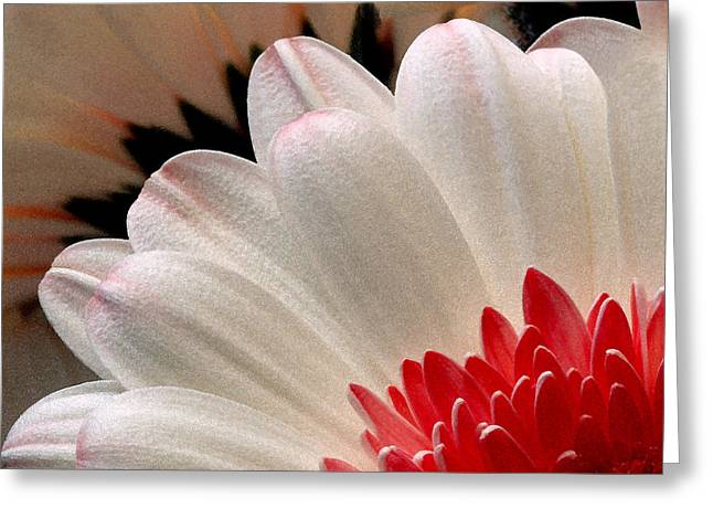 Gerbera Daisy IIi Greeting Card