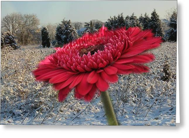 Gerbera Daisy In The Snow Greeting Card