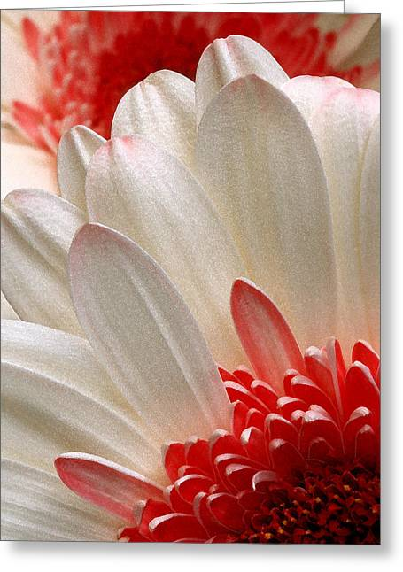 Gerbera Daisy Iv Greeting Card
