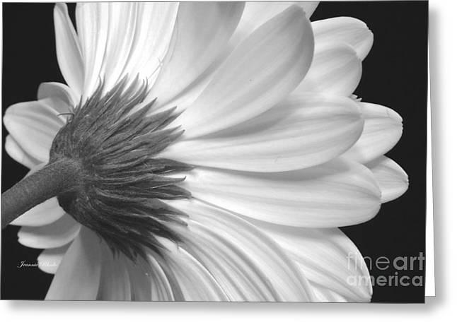 Gerbera Daisy Monochrome Greeting Card by Jeannie Rhode