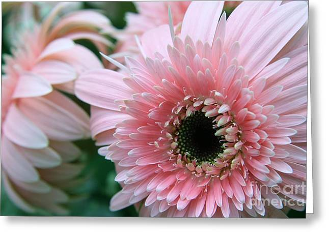 Greeting Card featuring the photograph Gerbera Explosion by Mary Lou Chmura