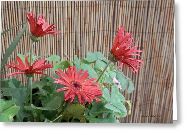 Greeting Card featuring the photograph Gerbera Glory by Belinda Lee