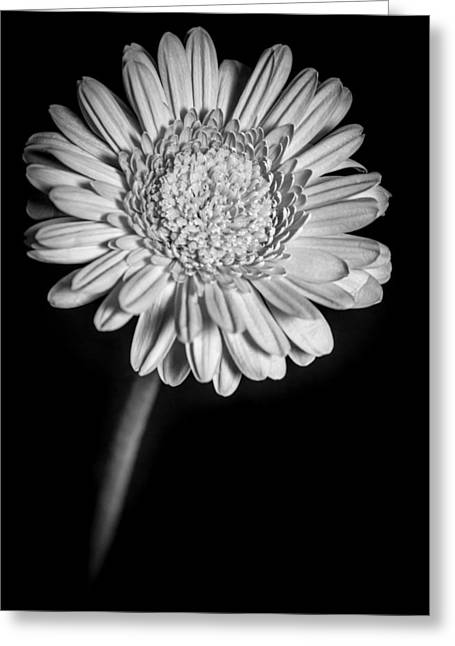Gerbera In Black And White Greeting Card