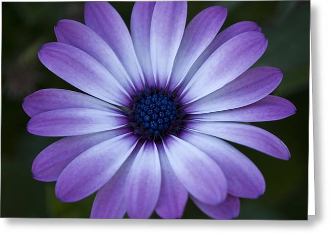 Gerbera In Purple Greeting Card