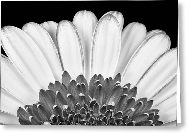Gerbera Rising Greeting Card by Adam Romanowicz