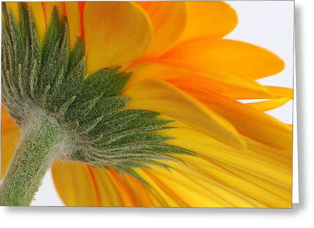 Gerbera Greeting Card by Shirley Mitchell