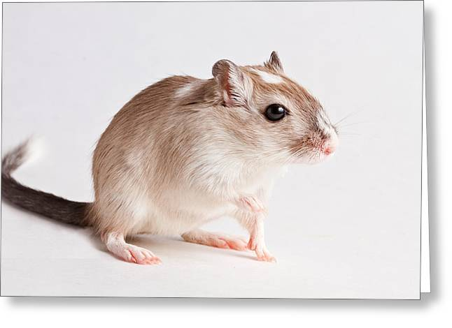 Greeting Card featuring the photograph Gerbil Gerbillinae by David Kenny