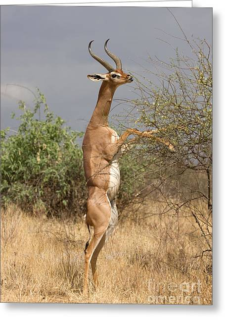 Greeting Card featuring the photograph Gerenuk Antelope by Chris Scroggins