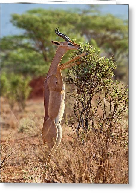 Gerenuk Standing On Hind Legs Browsing Greeting Card