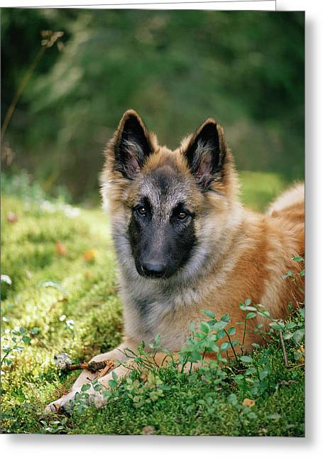 German Shepherd Dog Greeting Card by Bjorn Svensson/science Photo Library