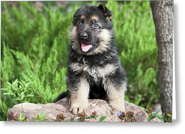German Shepherd Puppy Sitting On A Rock Greeting Card by Zandria Muench Beraldo