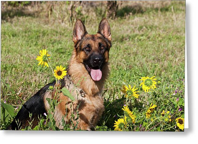 German Shepherd Sitting Greeting Card by Zandria Muench Beraldo