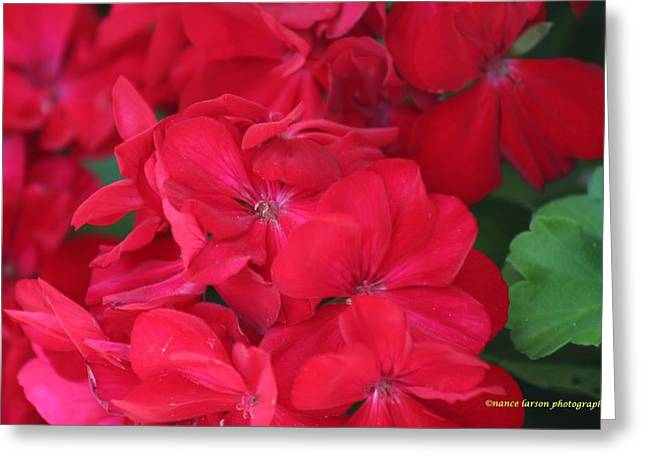 Germaniums Greeting Card by Nance Larson