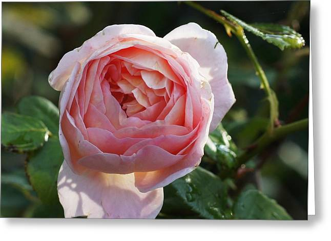 Gertrude Jeykell Old World Rose Greeting Card by Rosemarie E Seppala