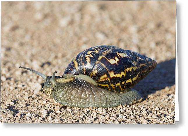 Giant African Land Snail Greeting Card by Science Photo Library