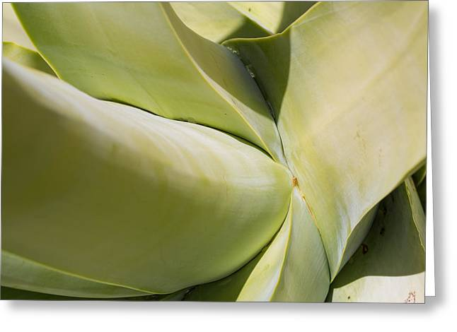 Giant Agave Abstract 9 Greeting Card