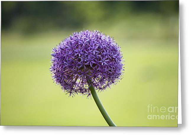Giant Allium Flower Greeting Card by Michael Ver Sprill