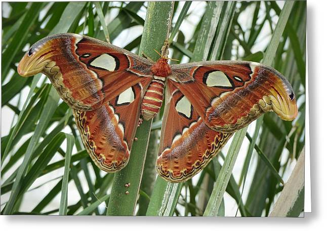 Giant Atlas Moth Greeting Card