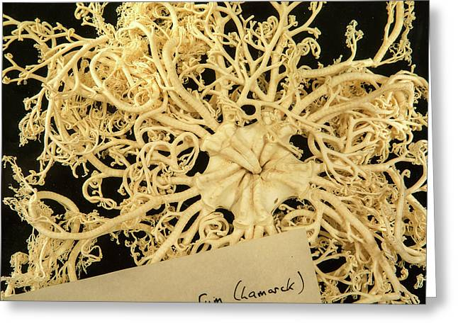 Giant Basket Star Greeting Card by Natural History Museum, London