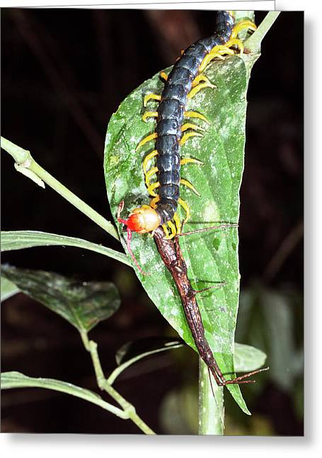 Giant Centipede Eating A Stick Insect Greeting Card by Dr Morley Read