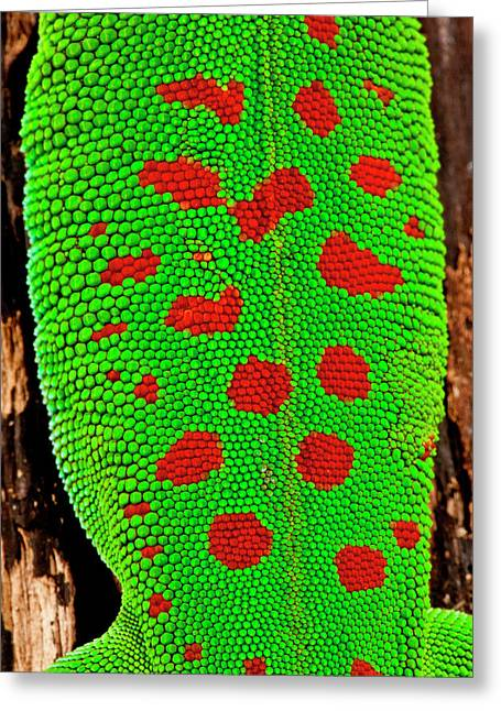 Giant Day Gecko, Phelsuma Greeting Card by David Northcott