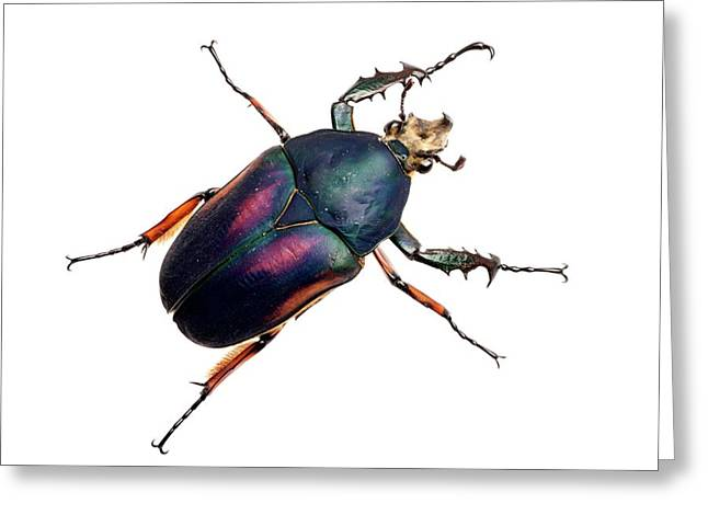 Giant Flower Beetle Greeting Card by Alex Hyde
