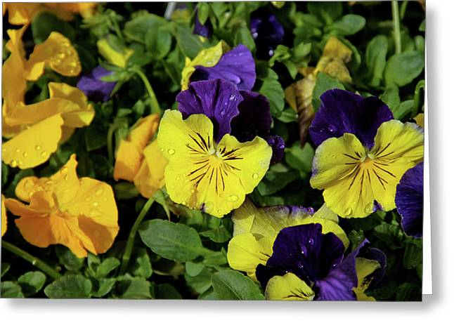 Giant Garden Pansies Greeting Card by Ed  Riche
