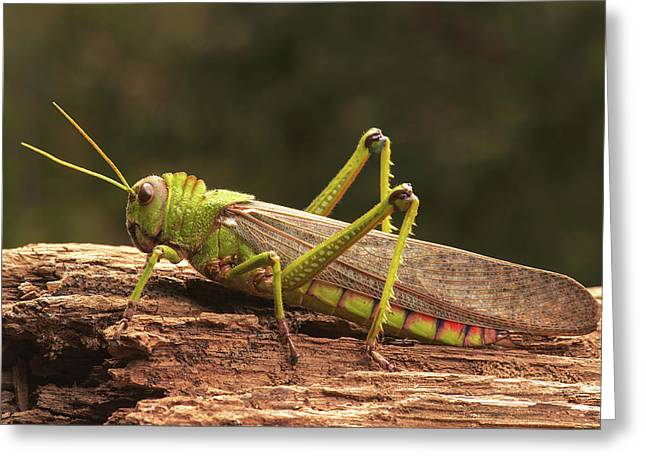 Giant Grasshopper Greeting Card by Ktsdesign