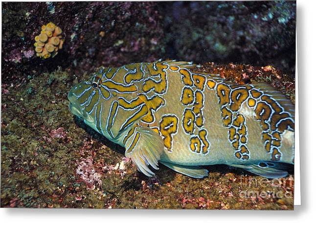 Giant Hawkfish On Seabed Greeting Card