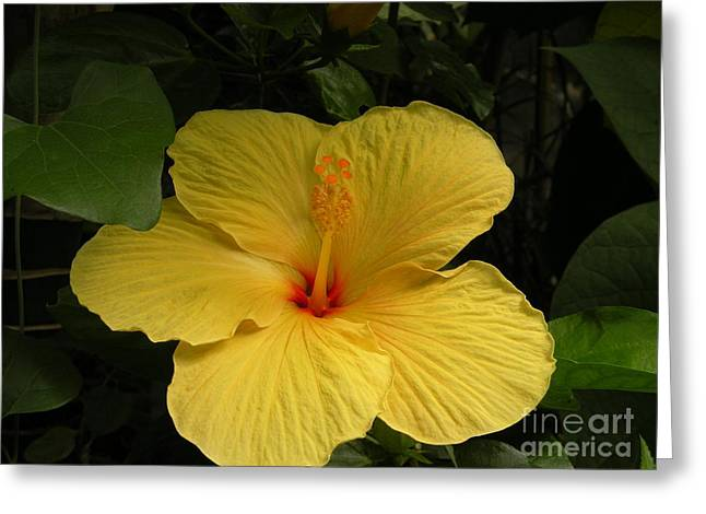 Giant Hibiscus Greeting Card by Val Carosella