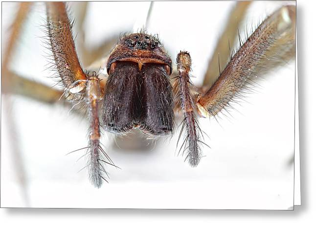 Giant House Spider Greeting Card by Paul Fell