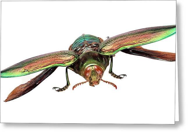 Giant Jewel Beetle Greeting Card by Natural History Museum, London