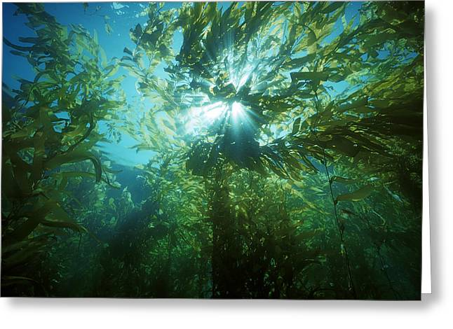 Giant Kelp Forest Greeting Card by Jeff Rotman