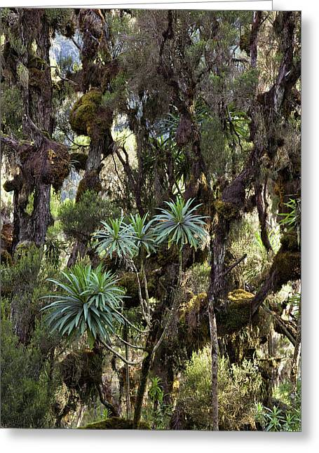 Giant Lobelia (lobelia Lanuriensis Greeting Card by Martin Zwick