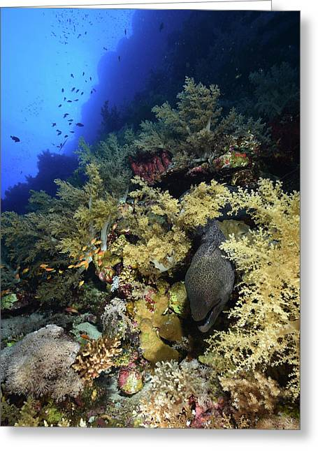 Giant Moray Eel Gymnothorax Javanicus Greeting Card
