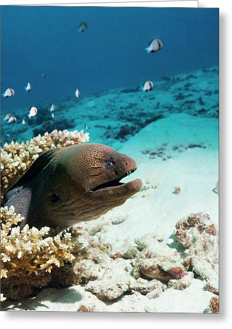 Giant Moray Eel On A Reef Greeting Card