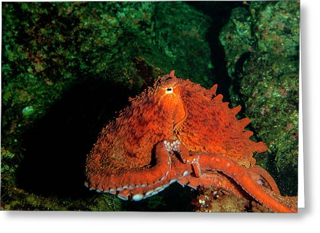 Giant Pacific Octopus (enteroctopus Greeting Card by James White