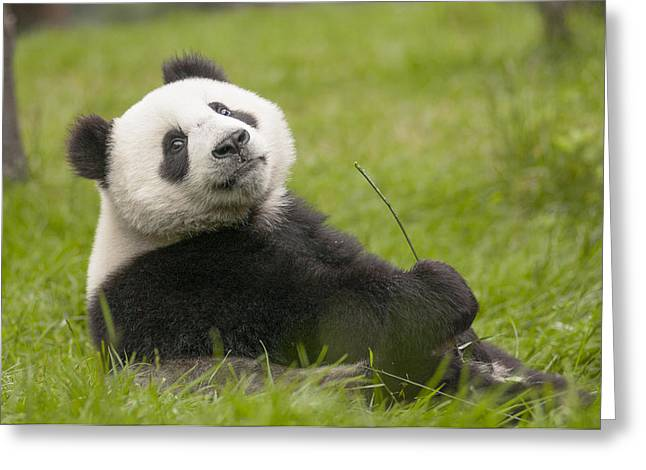 Giant Panda Cub Wolong National Nature Greeting Card by Katherine Feng