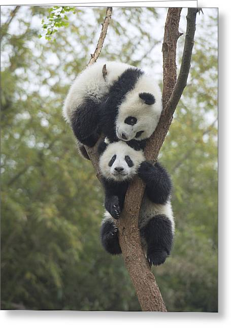 Giant Panda Cubs Playing Chengdu Greeting Card by Katherine Feng