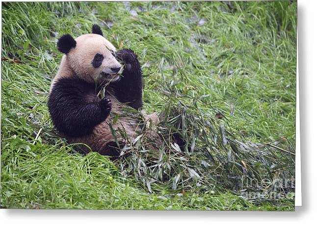 Giant Panda Greeting Card by John Shaw