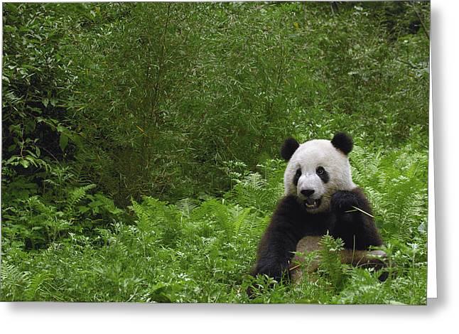 Giant Panda Near Bamboo Wolong China Greeting Card by Pete Oxford